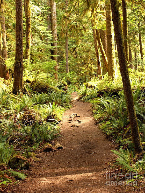 Northwest Poster featuring the photograph Trail Through The Rainforest by Carol Groenen