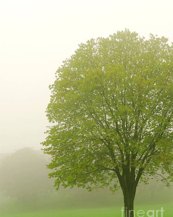 Fog Poster featuring the photograph Tree In Fog by Elena Elisseeva