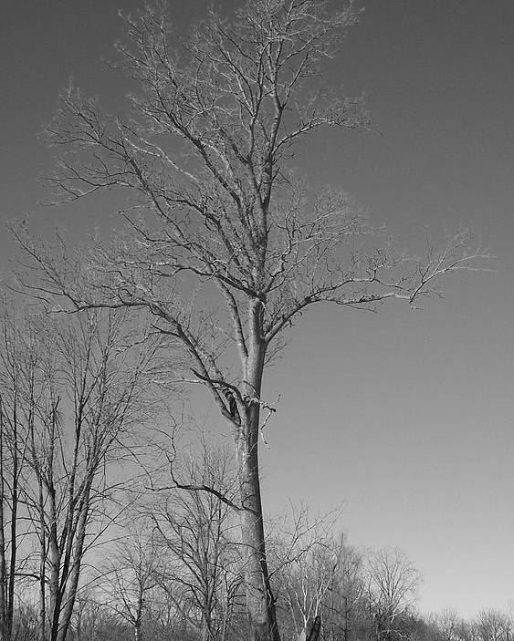 Tree Poster featuring the photograph Tree In Winter by Michelle Miron-Rebbe