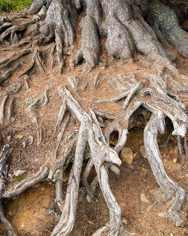 Tree Root Poster featuring the photograph Tree Root by Matthias Hauser