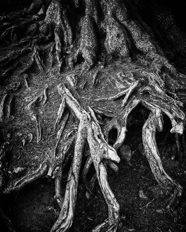 Tree Root Poster featuring the photograph Tree Roots Black And White by Matthias Hauser