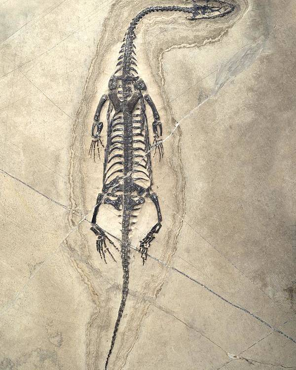 Aquatic Poster featuring the photograph Triassic Aquatic Reptile by Science Photo Library