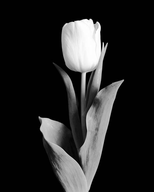 Tulip Poster featuring the photograph Tulip by Sebastian Musial