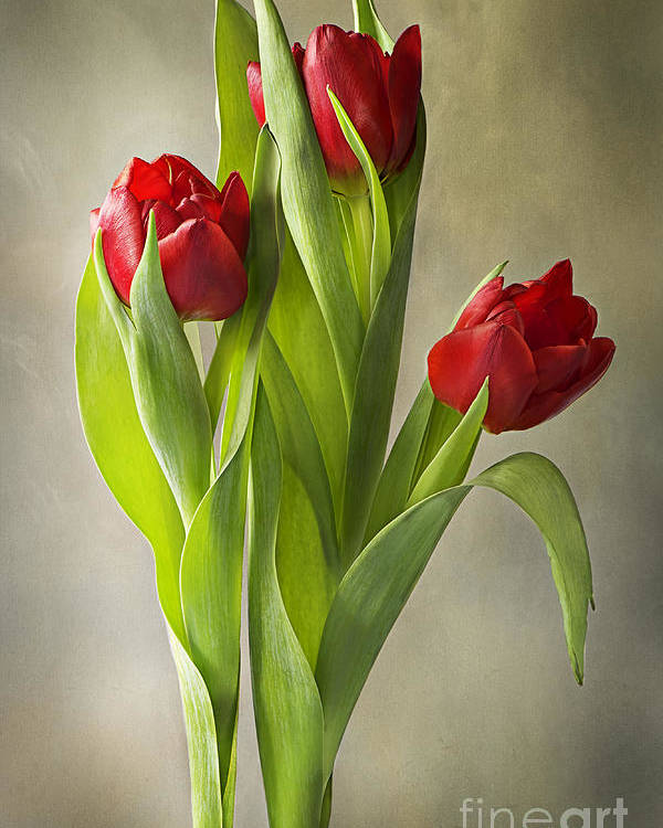 Tulips Poster featuring the photograph Tulipa by Jacky Parker