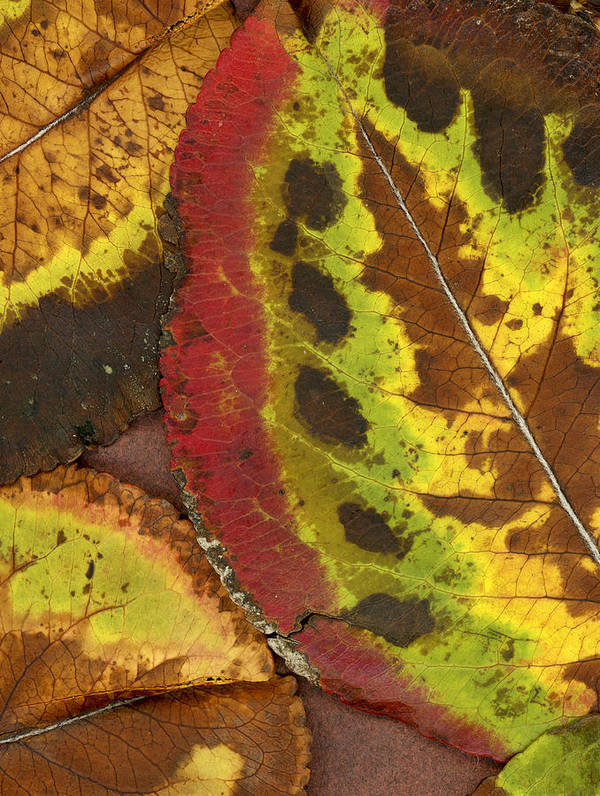 Leaf Poster featuring the photograph Turning Leaves 3 by Stephen Anderson