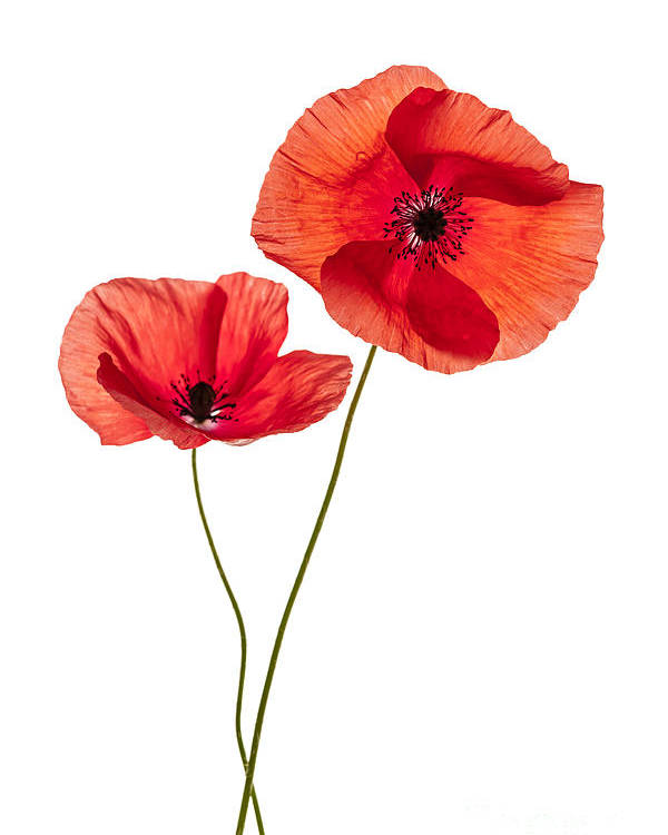 Two Poppy Flowers Poster By Elena Elisseeva
