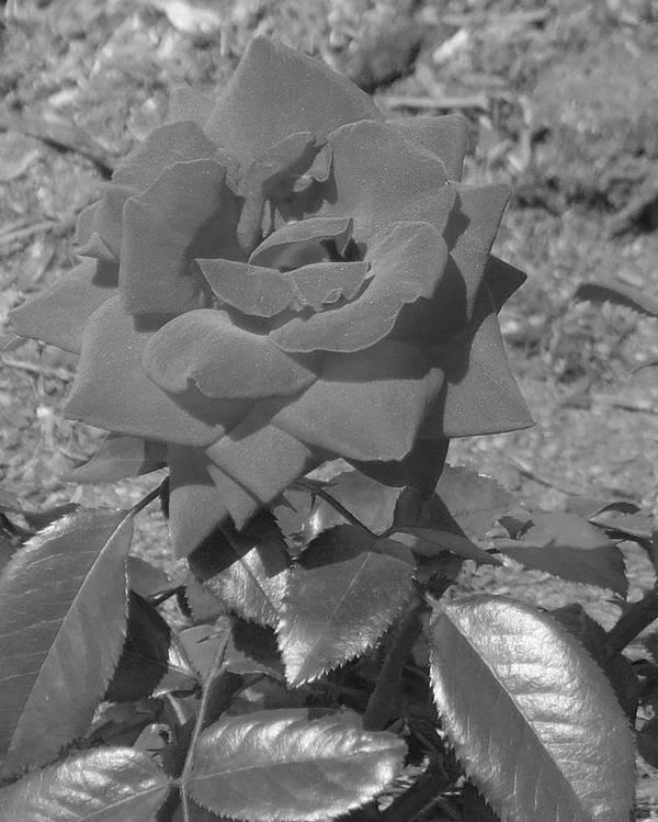 Rose Poster featuring the photograph Velvet Rose by Pharris Art