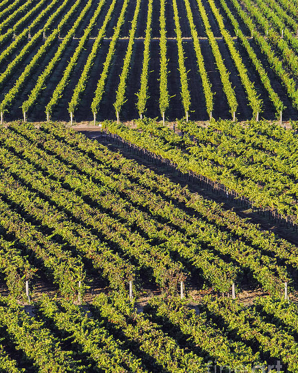 Napa Valley California Winery Wineries Grape Vine Vines Tree Trees Road Roads Street Streets Vertical Row Diagonal Rows Vineyard Vineyards Landscape Landscapes Poster featuring the photograph Vertical And Diagonal by Bob Phillips