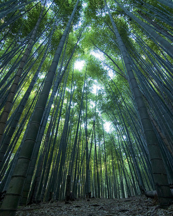 Bamboo Poster featuring the photograph Vertical Bamboo Forest by Aaron Bedell