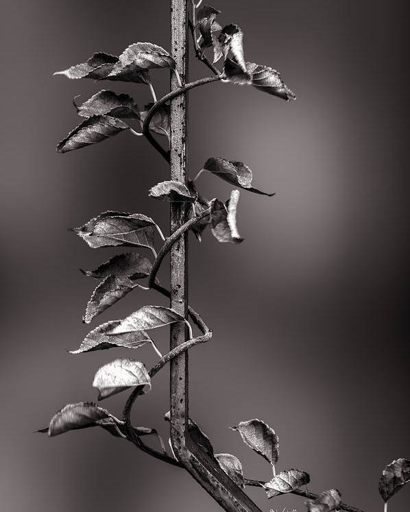 Vine Poster featuring the photograph Vine On Iron by Bob Orsillo