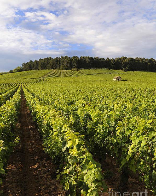 Agricultural  Poster featuring the photograph Vineyard Near Monthelie. Burgundy. France. Europe by Bernard Jaubert