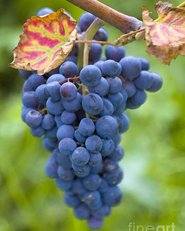 Nature Poster featuring the photograph Vitis by Heiko Koehrer-Wagner
