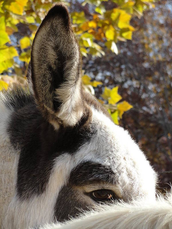 Donkey Poster featuring the photograph Watch And Listen by Shannon Garnaat