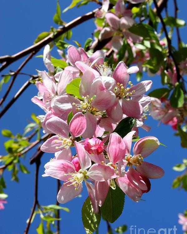 Weeping Cherry Tree Poster featuring the photograph Weeping Cherry Tree Blossoms by Carol Groenen