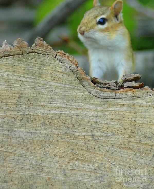 Chipmunk Poster featuring the photograph What's Up by Kathleen Struckle