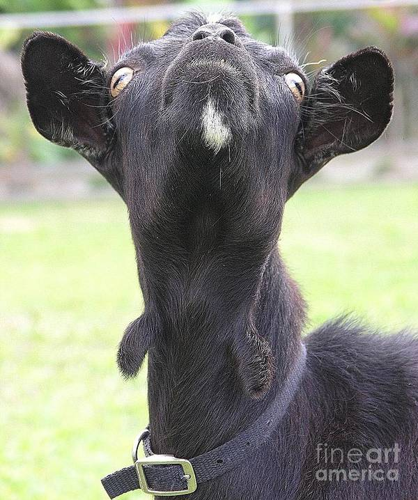 Goat Poster featuring the photograph Whats Up by Mary Deal