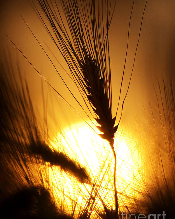 Sunset Poster featuring the photograph Wheat At Sunset Silhouette by Tim Gainey