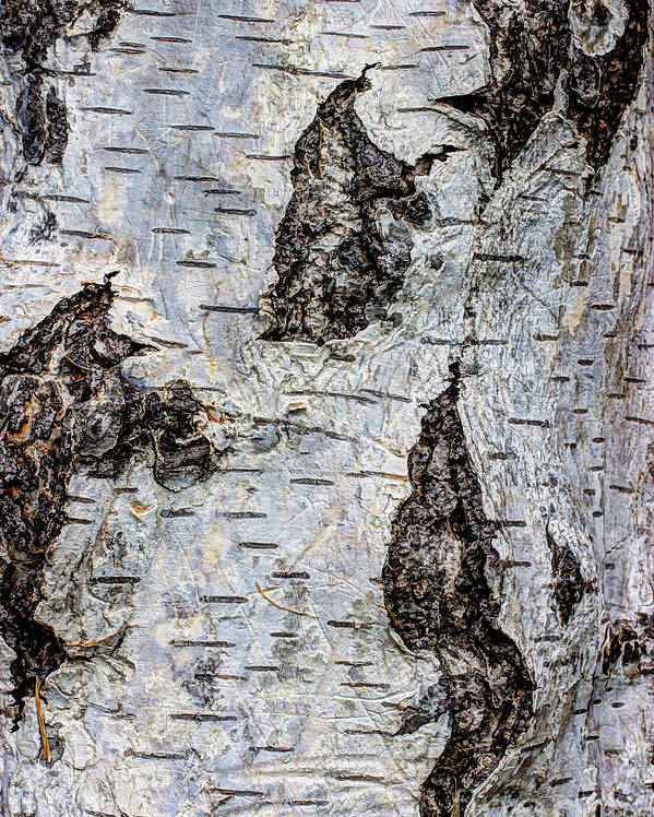 Organic Poster featuring the photograph White Birch Abstract by Heidi Smith