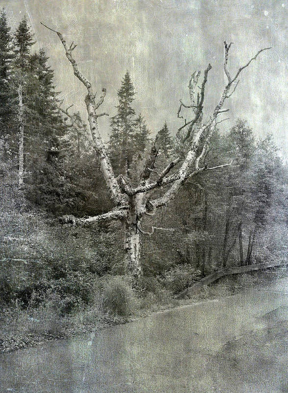 Trees Poster featuring the photograph White Birch Last Statement by Betty Pauwels
