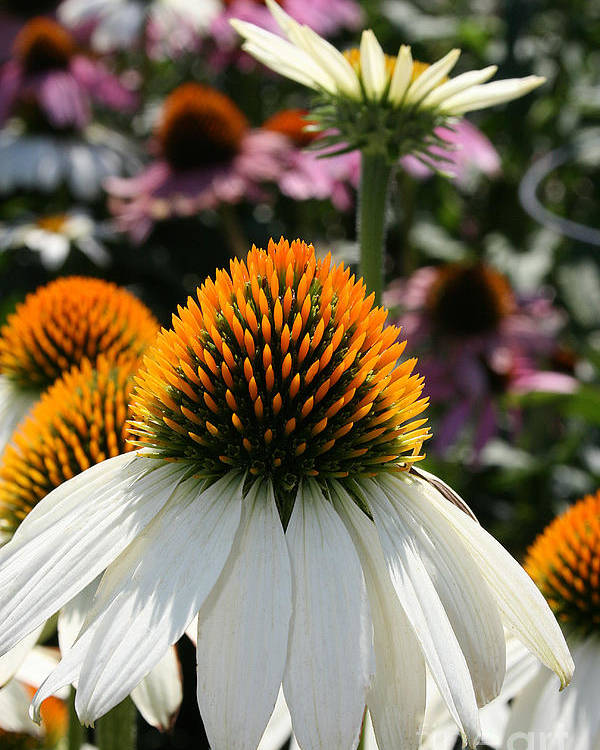 Flower Poster featuring the photograph White Cone Flower by Kathy DesJardins