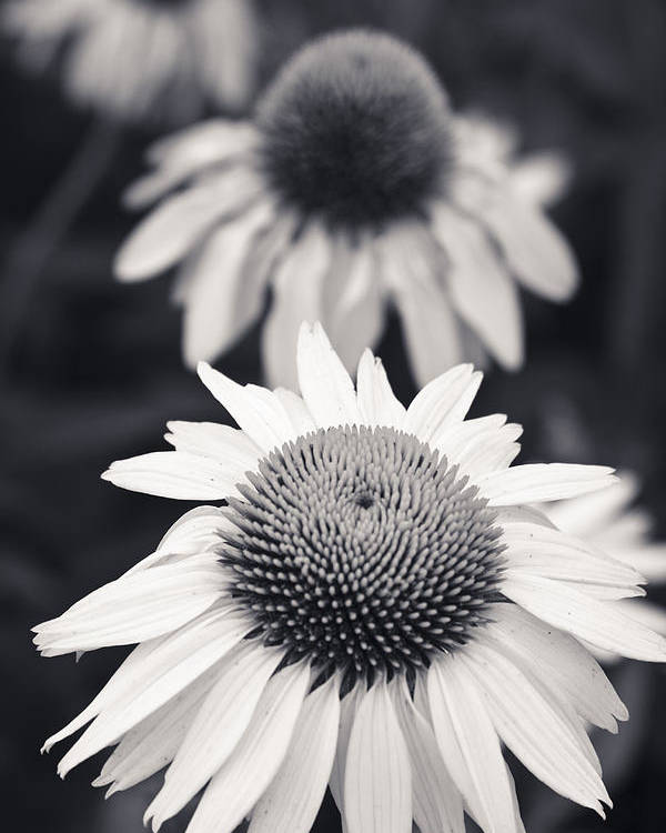 3scape Photos Poster featuring the photograph White Echinacea Flower Or Coneflower by Adam Romanowicz