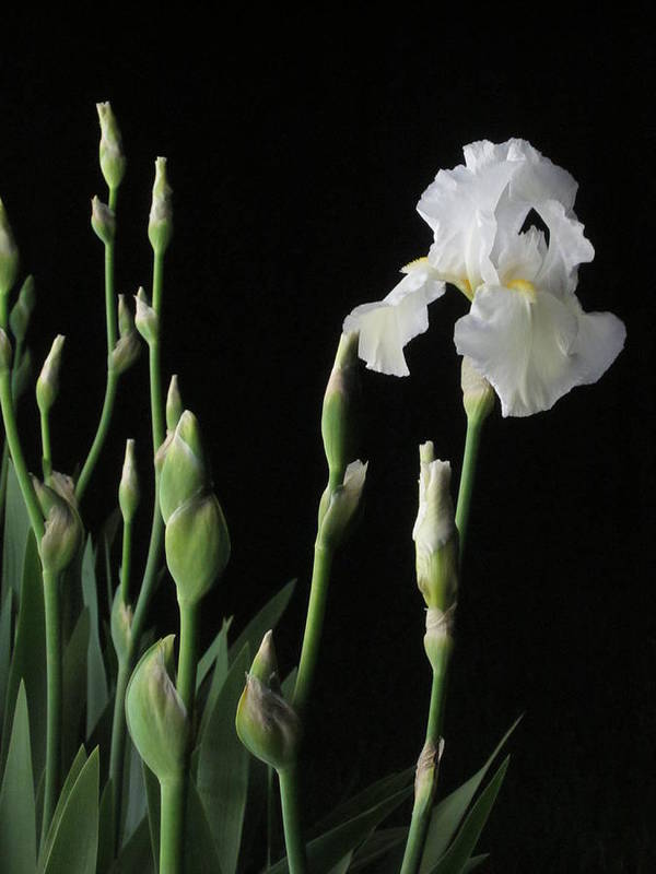 Guy Ricketts Photography Poster featuring the photograph White Iris In Black Of Night by Guy Ricketts