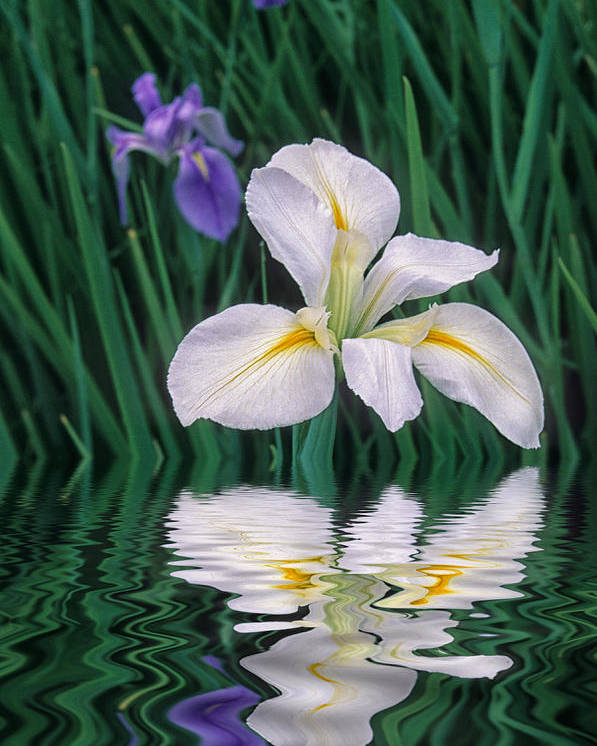 Flower Poster featuring the photograph White Iris by Keith Gondron