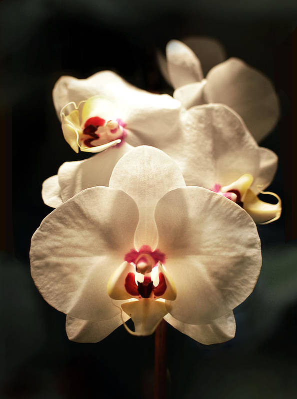 Poster featuring the photograph White Orchids by Marla Osborn