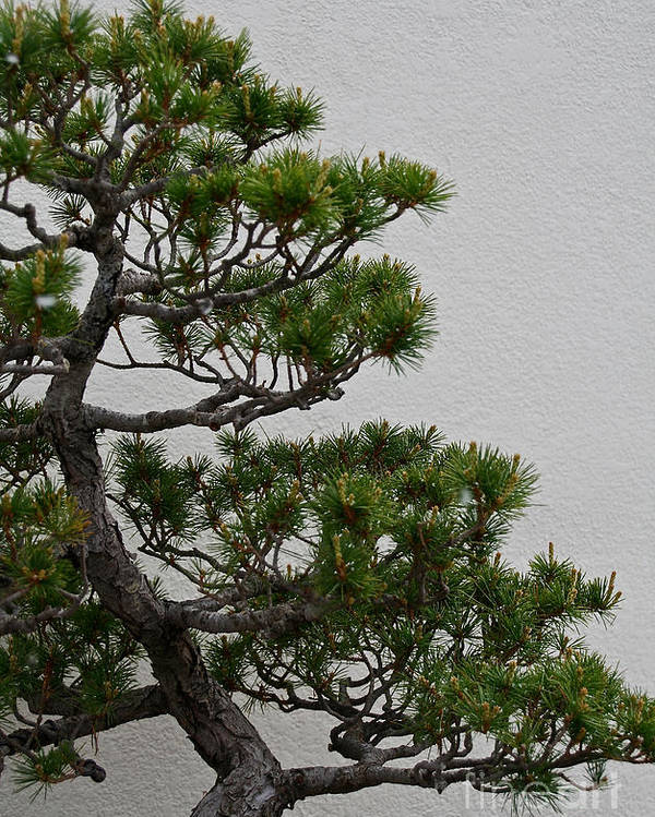 Tree Poster featuring the photograph White Pine Bonsai by Susan Herber