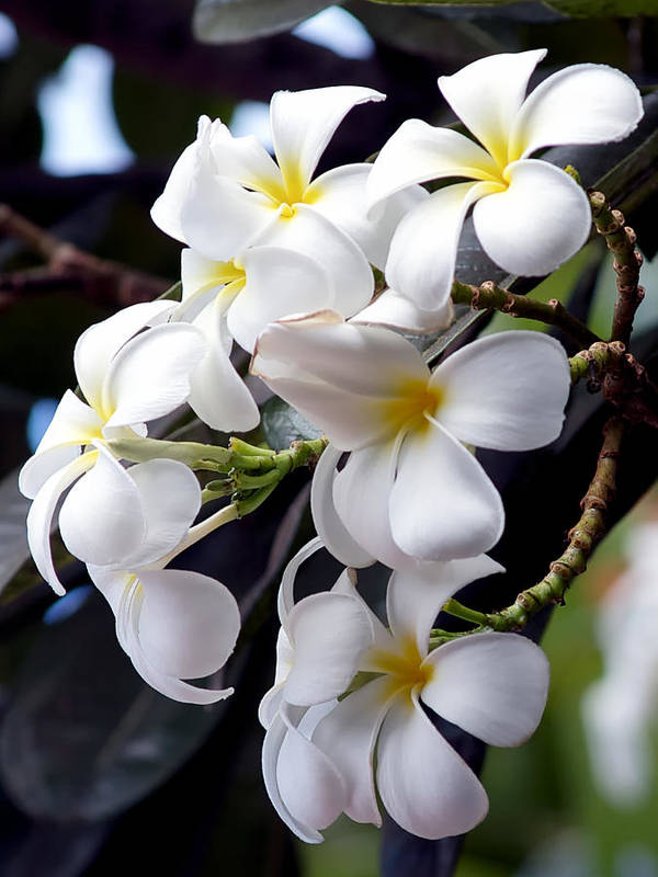 Frangipani Flower Poster featuring the photograph White Plumeria by Trever Miller