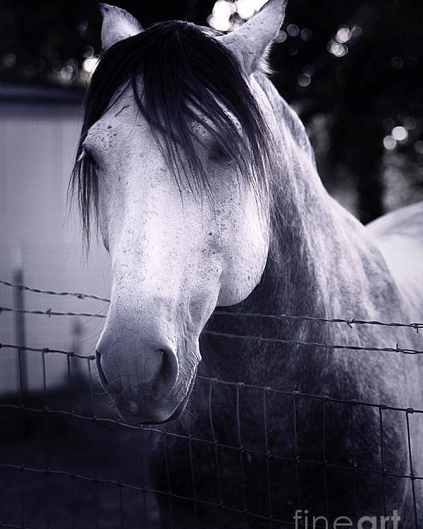Horse Poster featuring the photograph White Whisperer by Trish Mistric