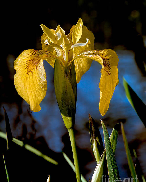 Iris Poster featuring the photograph Wild Iris by Robert Bales