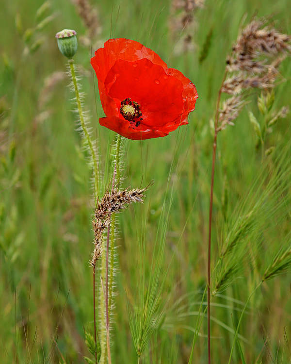 Poppy Poster featuring the photograph Wild Poppy by Nikolyn McDonald