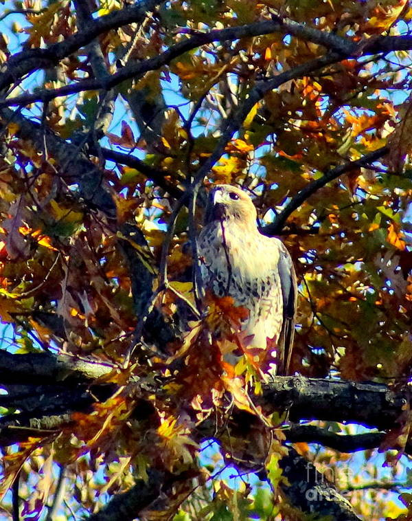 Poster featuring the photograph Wild Red Tail Hawk by Kandids By Katy