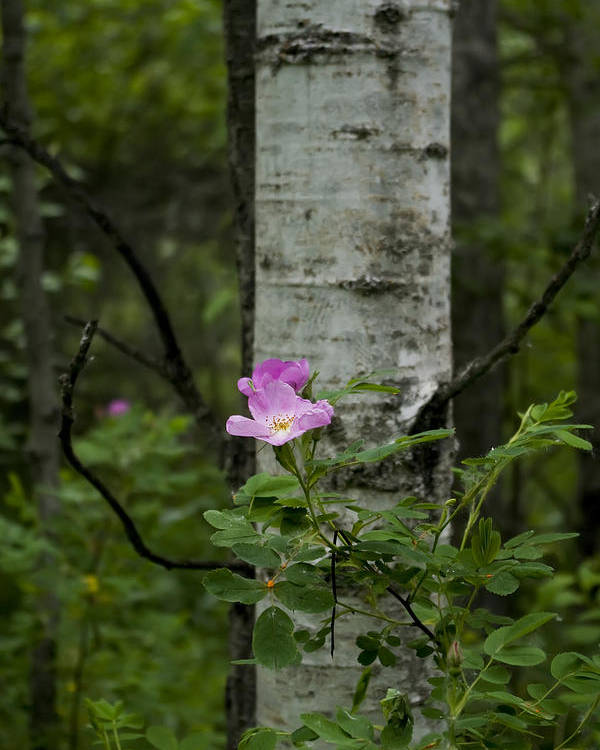 Photograph Poster featuring the photograph Wild Rose by Rhonda McDougall