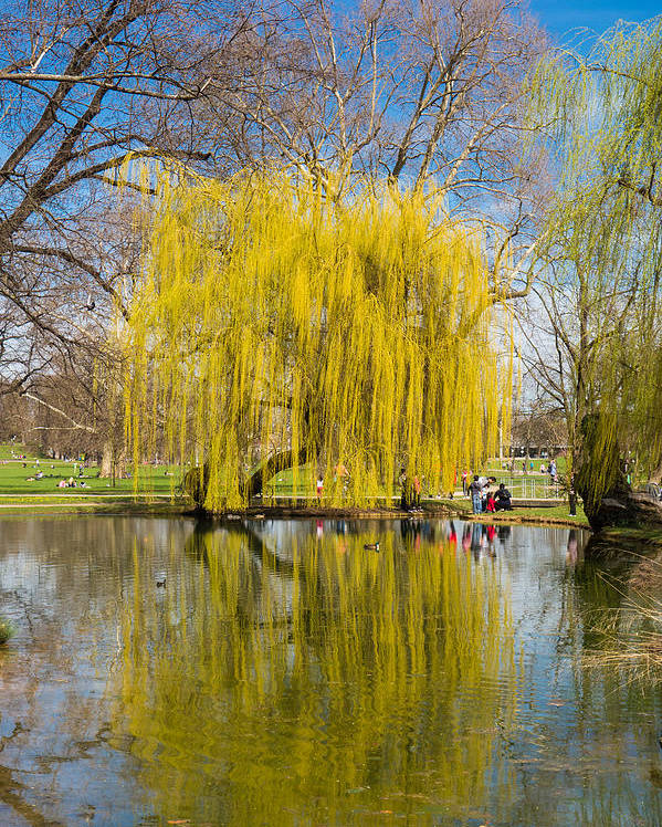 Willow Poster featuring the photograph Willow Tree Water Reflection by Matthias Hauser
