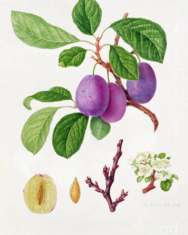 Plums; Plum Blossom; Fruit; Branch; Cross-section; Leaves; Botanical Illustration Poster featuring the painting Wilmot's Early Violet Plum by William Hooker