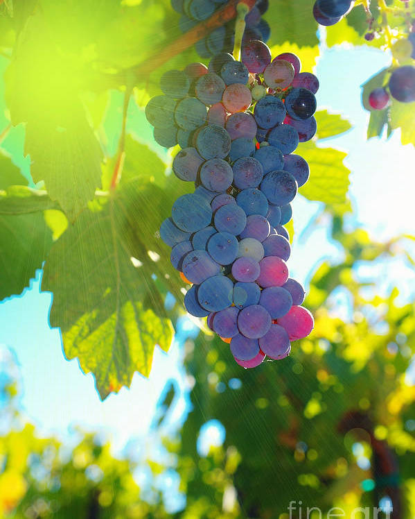 Wine Poster featuring the photograph Wine Grapes by Jeff Swan