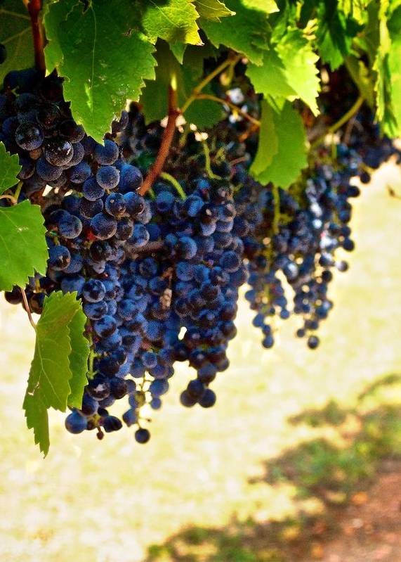 Wine Photograph Poster featuring the photograph Wine Grapes by Kristina Deane
