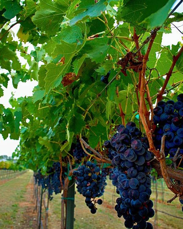 Winery Print Poster featuring the photograph Wine Grapes On The Vine by Kristina Deane