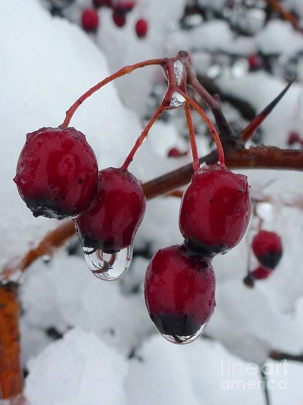 Red Poster featuring the photograph Winter Berries by Amalia Suruceanu