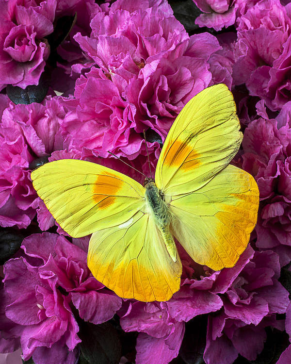 Pink Poster featuring the photograph Yellow Butterfly On Pink Azalea by Garry Gay