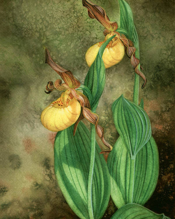 Cypripedium Parviflorum Variety Pubescens Poster featuring the painting Yellow Lady's Slippers by Robin Street-Morris