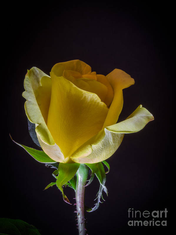 Yellow Rose 1 Poster featuring the photograph Yellow Rose 1 by Mitch Shindelbower