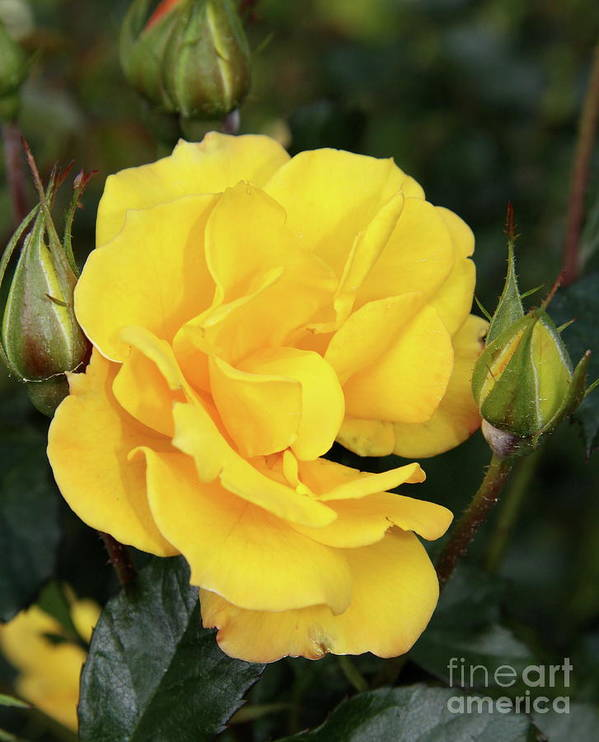 Rose Poster featuring the photograph Yellow Roses by Christiane Schulze Art And Photography