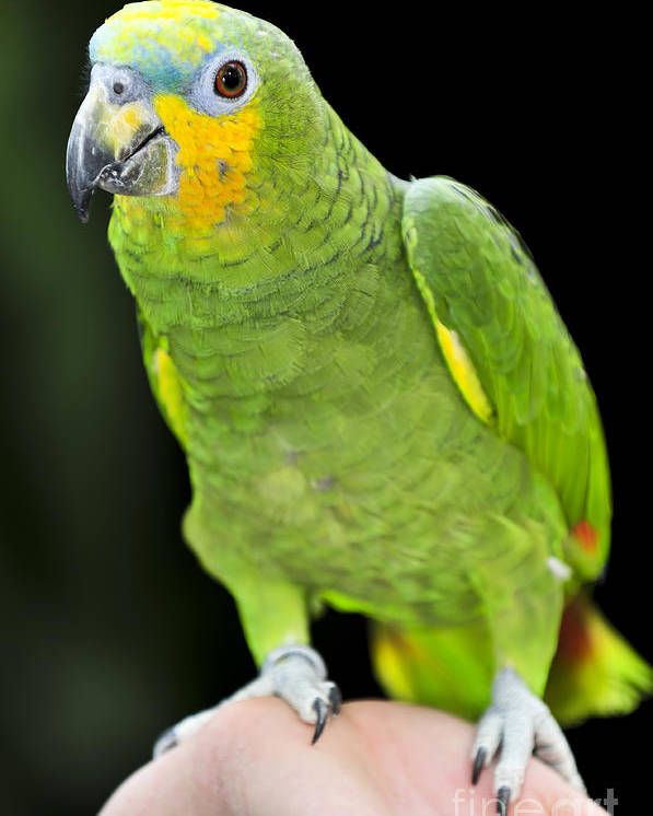 Parrot Poster featuring the photograph Yellow-shouldered Amazon Parrot by Elena Elisseeva