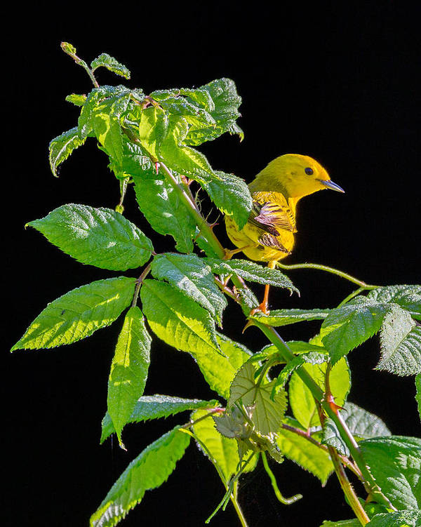 Warbler Poster featuring the photograph Yellow Warbler by Bill Wakeley