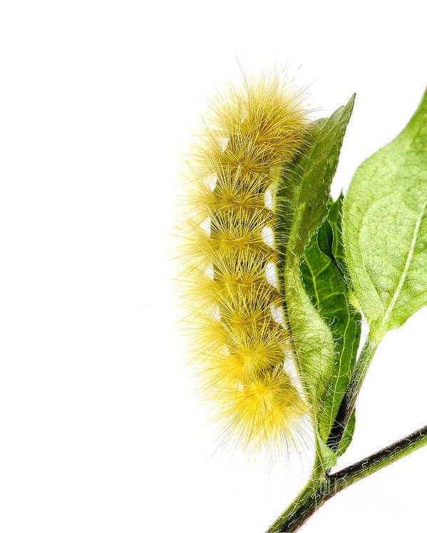Caterpillar Poster featuring the photograph Yellow Wooly Bear by Claudia Kuhn