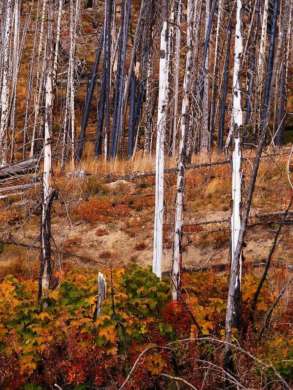 Yellowstone Poster featuring the photograph Yellowstone Aspens by Indigo Wild Photography