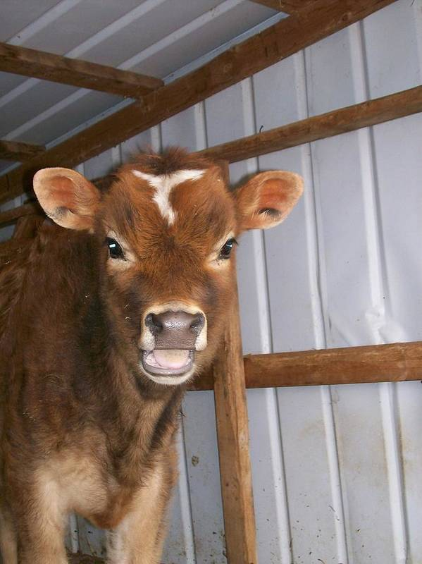 Cow Poster featuring the photograph Yes I'm Talking To You by Sara Raber